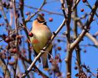 2018- April - The Letter C - Cedar Waxwing- DRC