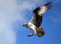 Osprey - Pleasant Hill Lake, Mohican Park July 2014  D. Cole